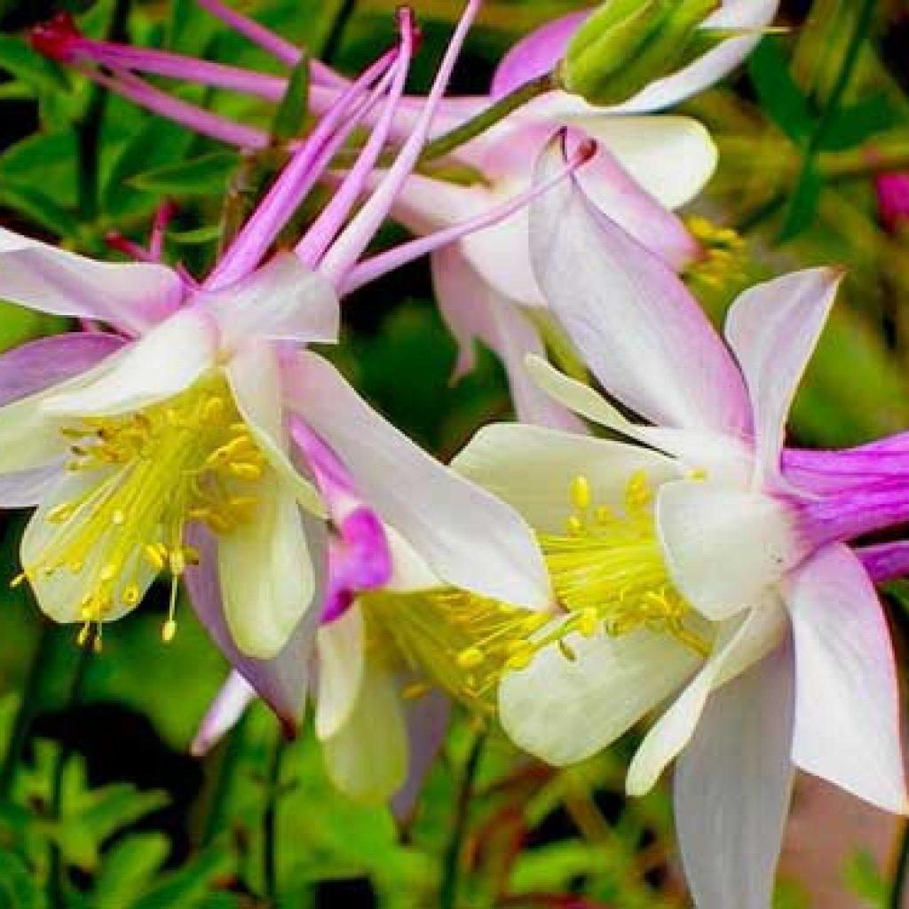 Садовый цветок аквилегия