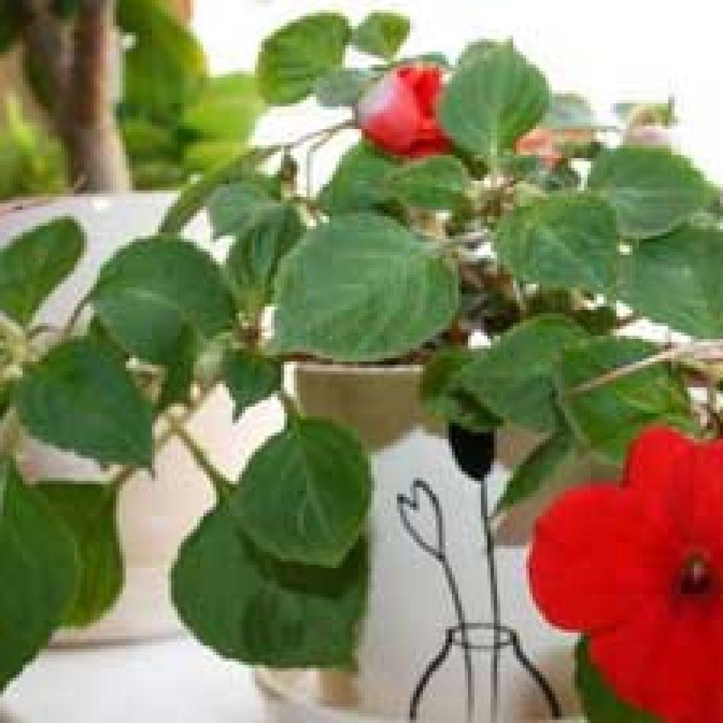 Бальзамин уход в домашних условиях, размножение, цветение 64