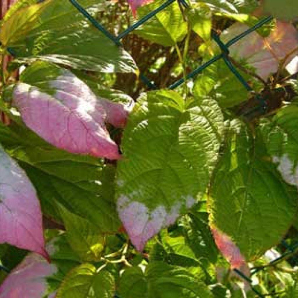 Растение актинидия посадка и уход; актинидия фото 79