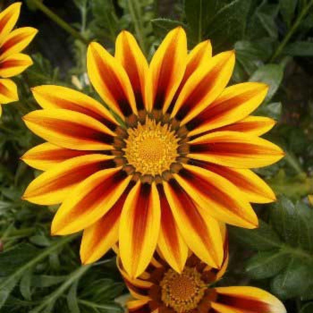 Газания цветок фото уход