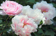 Цветы пионы: посадка и уход. Правильное размножение и пересадка.