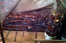 Правильное хранение черенков винограда в домашних условиях зимой