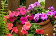 Цветок бальзамин  — как и когда сажать? Выращивание из семян и размножение