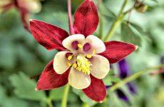 Цветок аквилегия — как и когда сажать? Выращивание из семян и сочетание с другими растениями