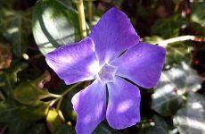 Цветок барвинок — как и когда сажают? Выращивание из семян в домашних условиях