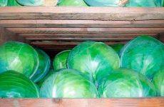Как правильно хранить капусту в погребе зимой