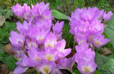 Цветок безвременник — как и когда сажать? Выращивание, пересадка и размножение