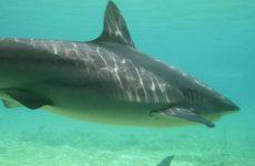 Приснилась большая или маленькая акула