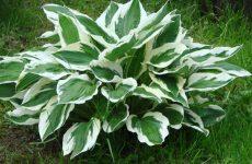 Цветок хоста как и когда сажать? Выращивание из семян в домашних условиях