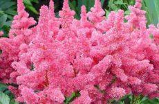 Цветок астильба — как и когда сажать? Выращивание из семян и сочетание с другими растениями