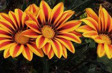 Цветок газания — как и когда сажать? Выращивание из семян