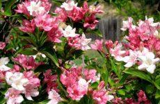 Цветок вейгела — как и когда сажать? Размножение и выращивание из семян