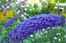 Цветок буддлея — как и когда сажать? Выращивание из семян и размножение