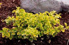 Цветок бересклет — как и когда сажать? Выращивание и пересадка