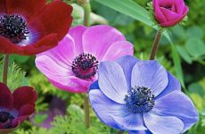 Цветок анемона — как и когда сажать? Выращивание из семян в домашних условиях