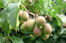 Цветок актинидия — как и когда сажать? Выращивание и размножение из семян в домашних условиях