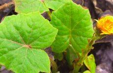 Листья растения мать-и-мачеха