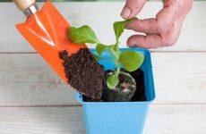 Как вырастить рассаду петуний из семян